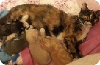 Calico Cat for adoption in New Orleans, Louisiana - Crystal (Cassie)