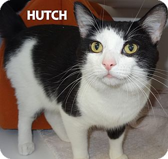 Domestic Shorthair Cat for adoption in Lapeer, Michigan - Hutch