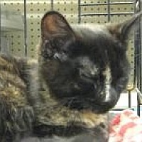 Domestic Shorthair Cat for adoption in Logan, Utah - Thelma