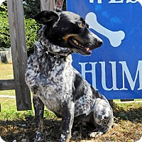 Blue Heeler/Cattle Dog Mix Dog for adoption in St. Francisville, Louisiana - Chiquita