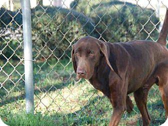 Labrador Retriever Dog for adoption in Panama City, Florida - BEAU