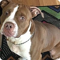 Adopt A Pet :: Roscoe - Anchorage, AK