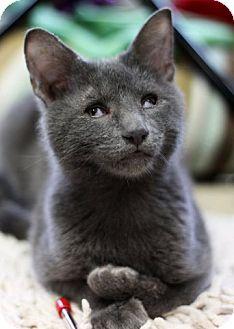 Domestic Shorthair Cat for adoption in Alexandria, Virginia - Otis