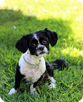 Shih Tzu Mix Dog for adoption in Tinton Falls, New Jersey - Littleton