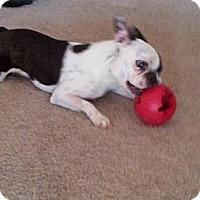 Adopt A Pet :: Little Bella - Temecula, CA