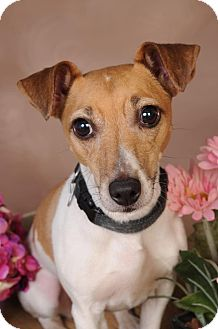 Jack Russell Terrier Dog for adoption in mishawaka, Indiana - Cocoa