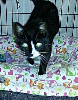 Domestic Shorthair Cat for adoption in Marlboro, New Jersey - Angela