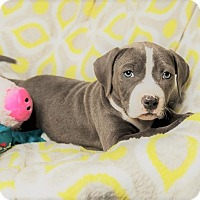 Adopt A Pet :: LUCILLE - Harrisburg, PA
