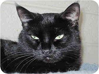 Domestic Shorthair Cat for adoption in Scottsdale, Arizona - Minnie