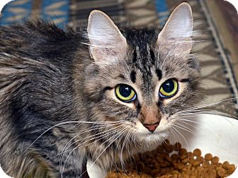Maine Coon Cat for adoption in Brooklyn, New York - Lucy