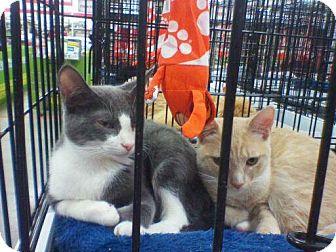 Domestic Shorthair Kitten for adoption in Harrisburg, North Carolina - Keiley
