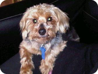Yorkie, Yorkshire Terrier/Poodle (Miniature) Mix Dog for adoption in Lancaster, Pennsylvania - Nickoli Stauffer