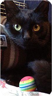 Domestic Shorthair Cat for adoption in Horsham, Pennsylvania - Simone