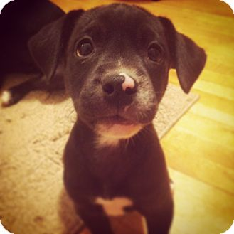 American Staffordshire Terrier Mix Puppy for adoption in Byhalia, Mississippi - Ruby
