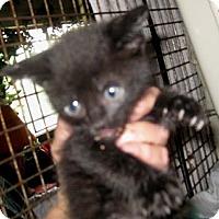 Adopt A Pet :: Licorice - Dallas, TX