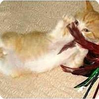 Adopt A Pet :: Cheddar - New York, NY