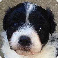 Adopt A Pet :: Panda - La Costa, CA