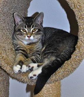 Domestic Shorthair Kitten for adoption in Colorado Springs, Colorado - Peter Pan