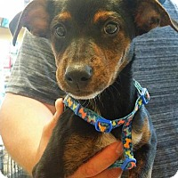 Adopt A Pet :: Robo - Orlando, FL