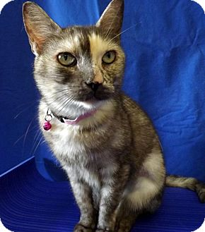 Domestic Shorthair Cat for adoption in LAFAYETTE, Louisiana - AUDREY
