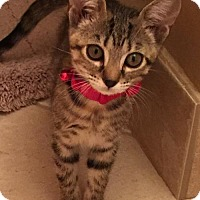 Domestic Shorthair Cat for adoption in Marco Island, Florida - Ashley