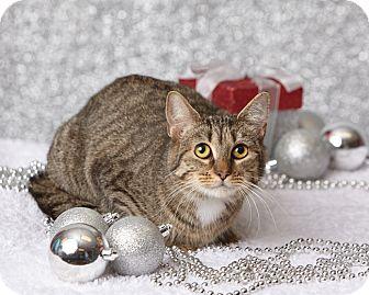 Domestic Shorthair Cat for adoption in Harrisonburg, Virginia - Slinky