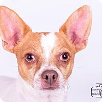 Chihuahua/Dachshund Mix Puppy for adoption in Colorado Springs, Colorado - Rally