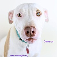 Adopt A Pet :: Cameron - Bloomington, MN