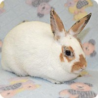 Adopt A Pet :: Sweet Blossom - Chesterfield, MO