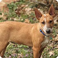 Adopt A Pet :: Spuds - Flower Mound, TX