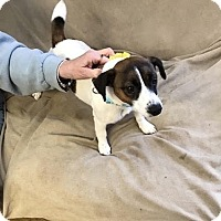 Jack Russell Terrier Puppy for adoption in Mt. Laurel, New Jersey - ADORABLE SMALL DOGS!!!