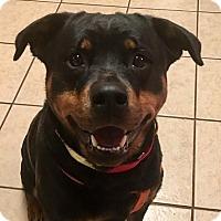 Adopt A Pet :: Belle - Frederick, PA