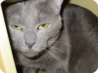 Domestic Shorthair Cat for adoption in Waldorf, Maryland - Julia #2288