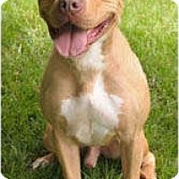 Adopt A Pet :: Shrek - Chicago, IL