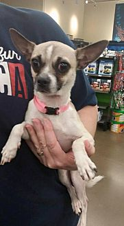 Pug/Chihuahua Mix Dog for adoption in Fresno, California - Sweetie