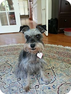 Schnauzer (Miniature) Dog for adoption in Laurel, Maryland - Kenya