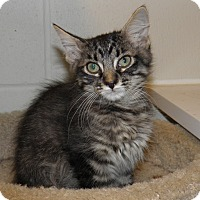 Adopt A Pet :: Magic - Council Bluffs, IA