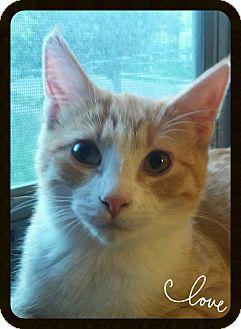 Domestic Shorthair Cat for adoption in Owatonna, Minnesota - Marlin
