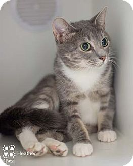 Domestic Shorthair Cat for adoption in Merrifield, Virginia - Heather
