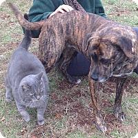 Adopt A Pet :: Sweet Sophie - Westport, CT
