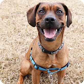 Boxer/Beagle Mix Dog for adoption in CUMMING, Georgia - Jess