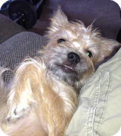 Brussels Griffon Mix Puppy for adoption in Phoenix, Arizona - Luke
