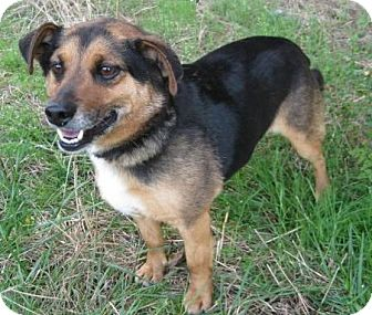 Beagle/Terrier (Unknown Type, Small) Mix Dog for adoption in Huntsville, Alabama - Conner