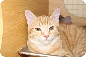 Domestic Shorthair Cat for adoption in Tucson, Arizona - Theodore