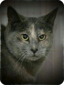 Domestic Shorthair Cat for adoption in Pueblo West, Colorado - DiDi