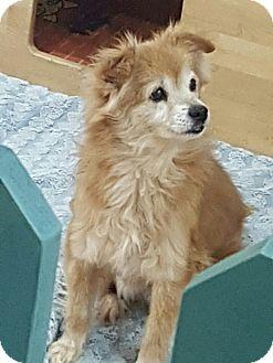 Pomeranian Mix Dog for adoption in Oakton, Virginia - Fluffy
