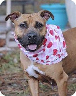 Pit Bull Terrier/Boxer Mix Dog for adoption in New Smyrna Beach, Florida - Flower