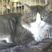 Maine Coon Cat for adoption in E. Claridon, Ohio - Nova