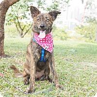 Collie/Labrador Retriever Mix Puppy for adoption in Castro Valley, California - Stracy