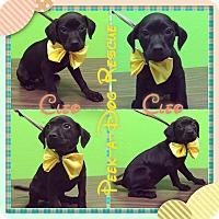 Adopt A Pet :: Cleo - South Gate, CA